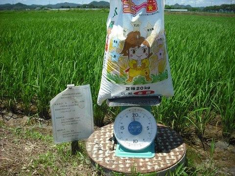 総合ミネラル肥料の追肥(24.7.18).JPG