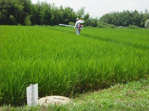 穂肥の施肥状況(25.8.2).JPG