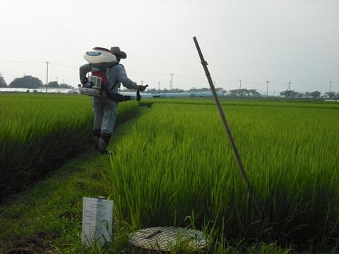 穂肥の施肥(2回目)(25.8.11).JPG
