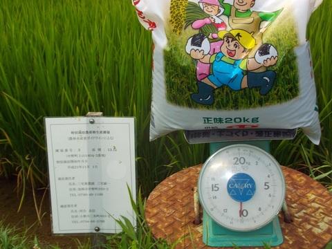 30年度穂肥の施肥計量(2回目)(30.8.10)2146.JPG